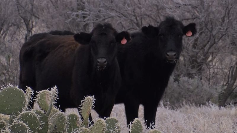 Ranchers across the nation brave winter storm conditions to take care of their livestock to...