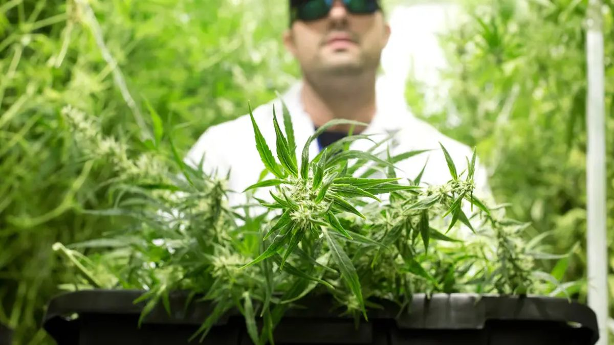 Michael Rubin, Director at Compassionate Cultivation, a home-grown medical cannabis company...