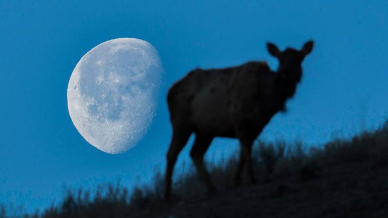 A setting Moon and elk at Mammoth Hot Springs in Yellowstone National Park in March 2015.