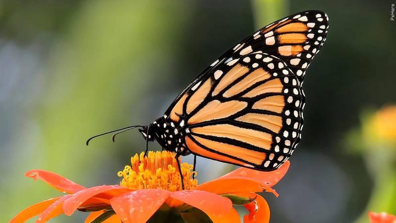 A monarch butterfly.
