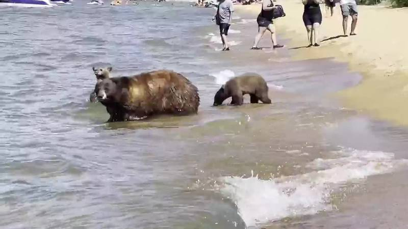 These bears cooled off at Pope Beach at South Lake Tahoe, California.
