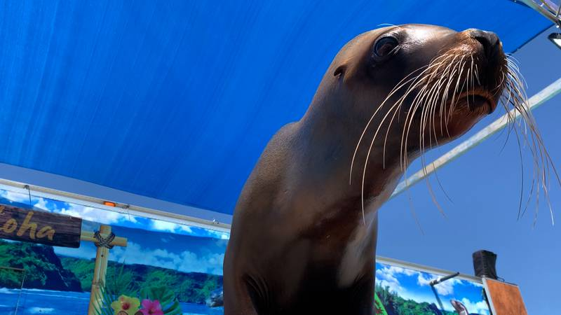 A sea lion inspects a camera at Sea Lion Splash as Fiesta West Texas.