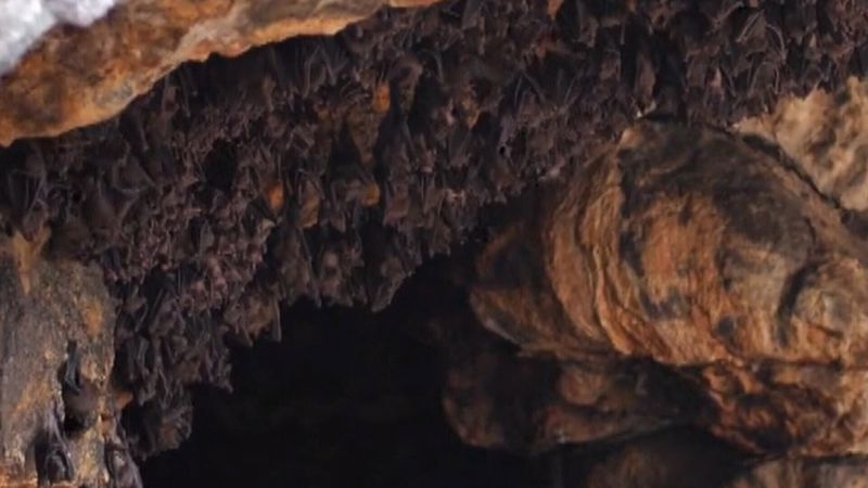 Bat population threatened by fungus